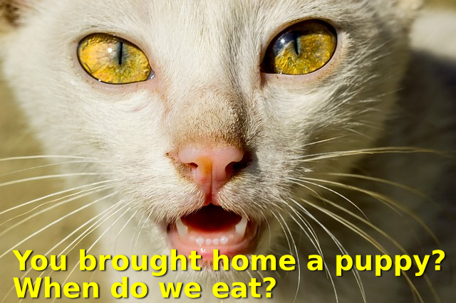 Photo: cat with caption 'You brought home a puppy? When do we eat?'